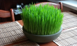 Beneficios-del-wheatgrass-o-pasto-de-trigo-4_0