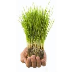 clorofila-pura-hierba-de-trigo-wheat-grass_MCO-O-20827801_4728