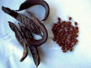 algarroba semillas