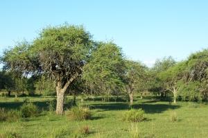 Bosque_de_algarrobos_Uruguay