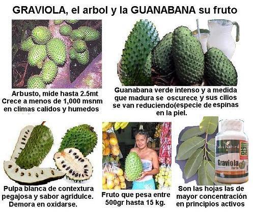 GRAVIOLA,HOJAS Y FRUTOS