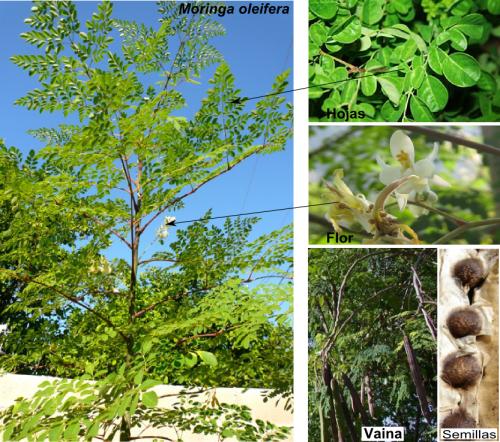 Moringa oleifera-Detalles