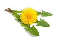 dandelion with flower isolated on white