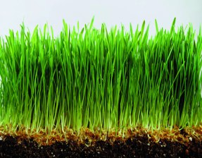 mj-99-88-small-wheatgrass